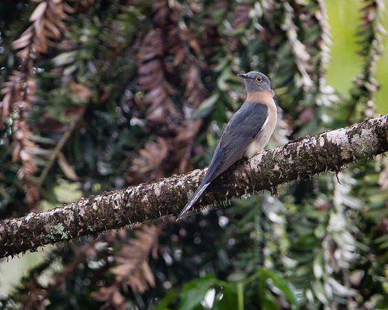 Fan-tailed Cuckoo (Cacomantis flabelliformis) - Dilkusha Nature Reserve - Birds & Flowers, Maleny, Sunshine Coast Hinterland, Queensland; 8 June 2013. Photos by Des Thureson