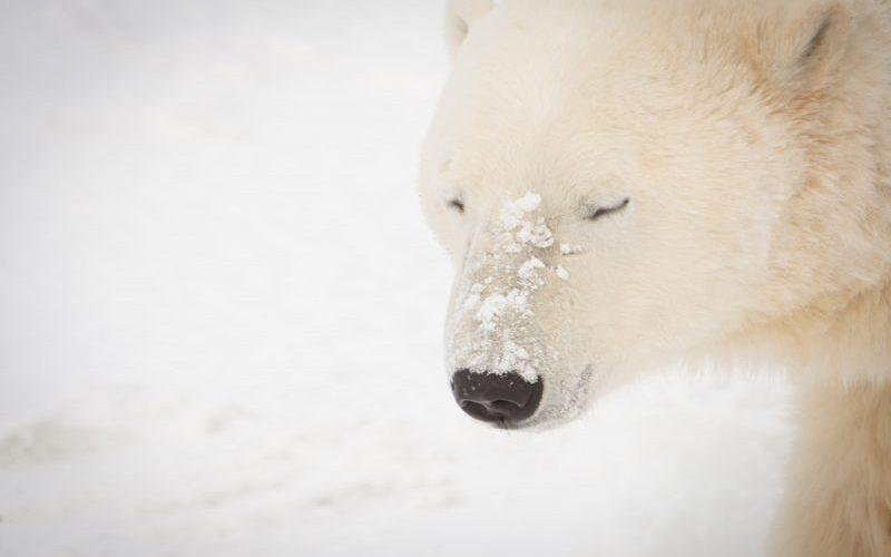 Polar Bears of Churchill, Canada