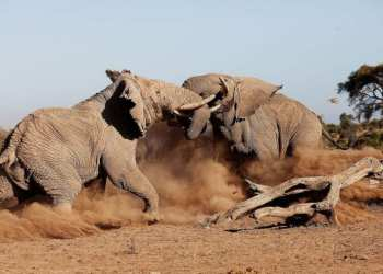 Elephants Fight - Part of the Big Five