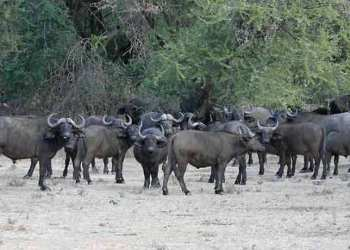 Buffalos in Okumu National Park
