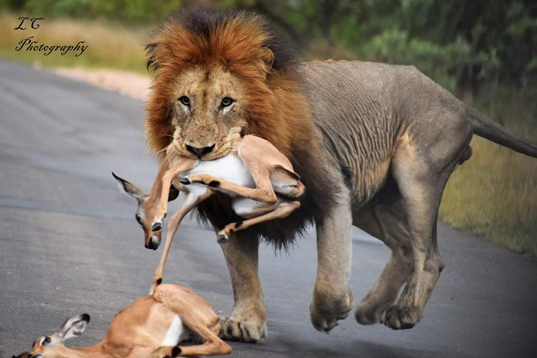 JOSEKHULU MALE LION hunting Impala on the road   As you have all seen the pics of JOSEKHULU MALE hunting Impala on the road while he was scent marking and roaring,here is the unseen video