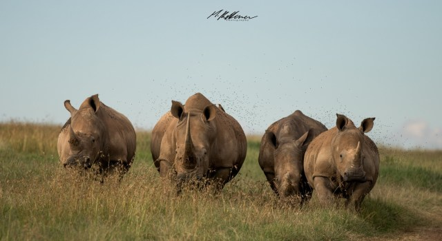 Enjoy The Photos in Honoring World Rhino Day 2020 - Photo by Manuel Keterrer