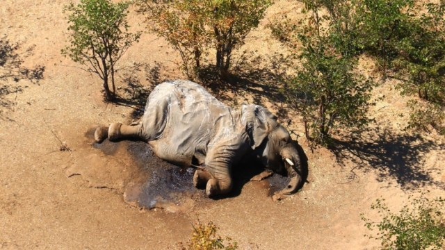 Cyanobacteria is the cause of elephant deaths