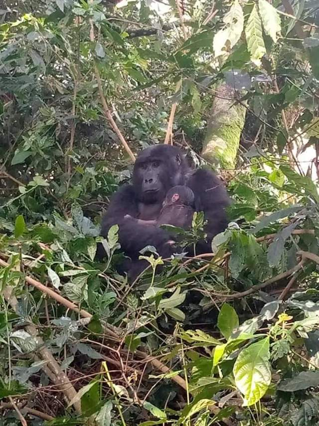 Uganda:- Great news from the Bwindi Impenetrable, yet another baby birth