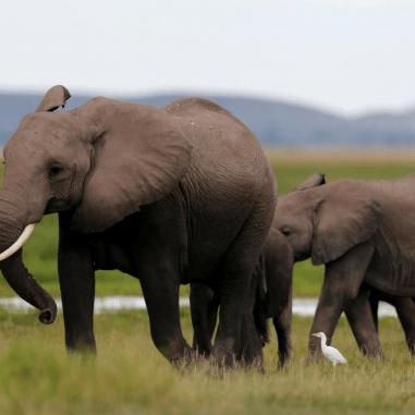 A family of elephants walking in the Amboseli National Park, southeast of Kenya's capital Nairobi, April 25, 2016. Photo : REUTERS