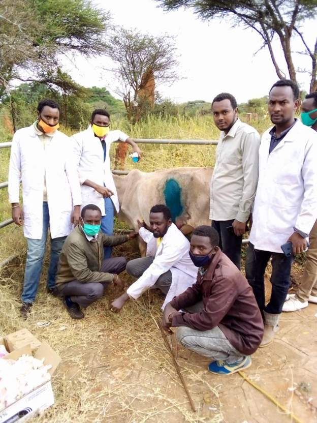 In Ethiopia, Vets remove 50kg of plastic from cow's stomach