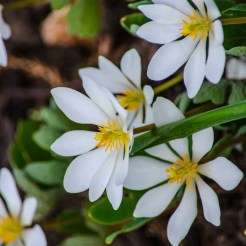 Bloodroot (sanguinaria canadensis) Photo by Lisa DeLorenzo Hager