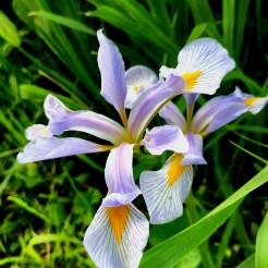 Southern blue flag (Iris virginica) Photo by Steve Frank