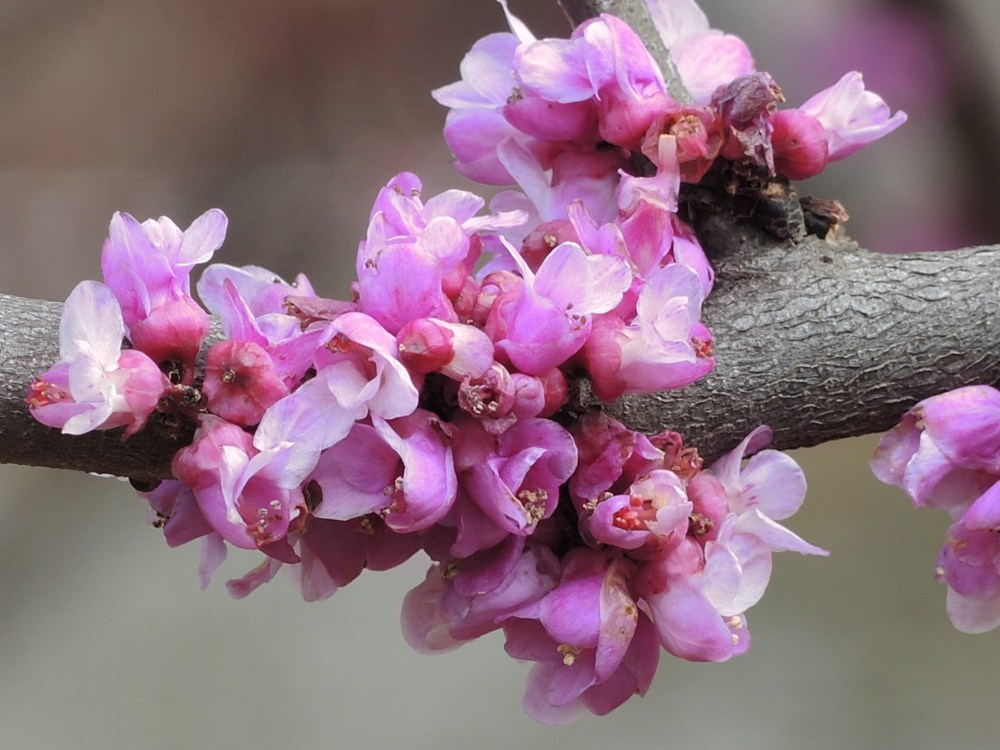 Eastern redbud, Cercis canadensis 'Little Woody'