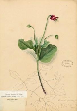 Clematis glaucophyllaJPEG