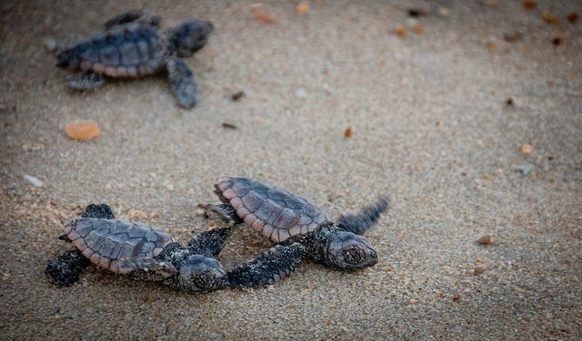 Baby Turtle release in Costa Rica, by DiscoverCorps