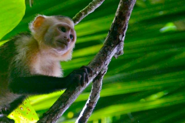 White Faced Capuchin Monkey in Costa Rica