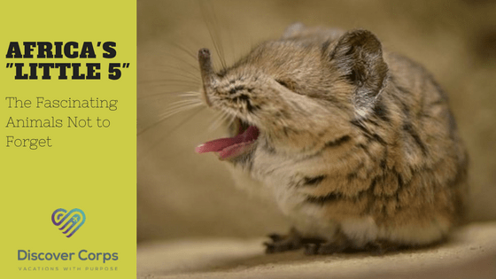 The Little 5: The Fascinating Animals Not to Forget in Africa