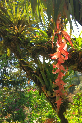 another example of an airplant in the garden. the most common types are orchids, ferns and bromeliads.