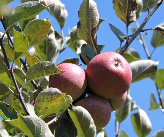 Apples on apple tree