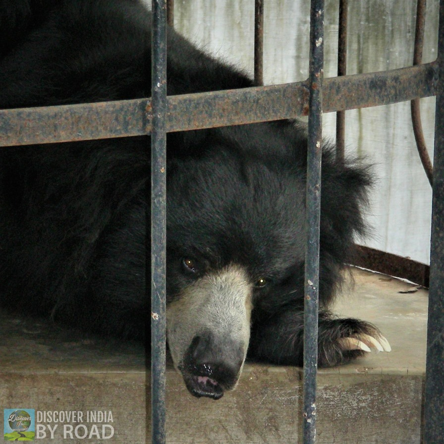 Sleeping Slot bear at Sakkarbaug Zoo, Junagadh