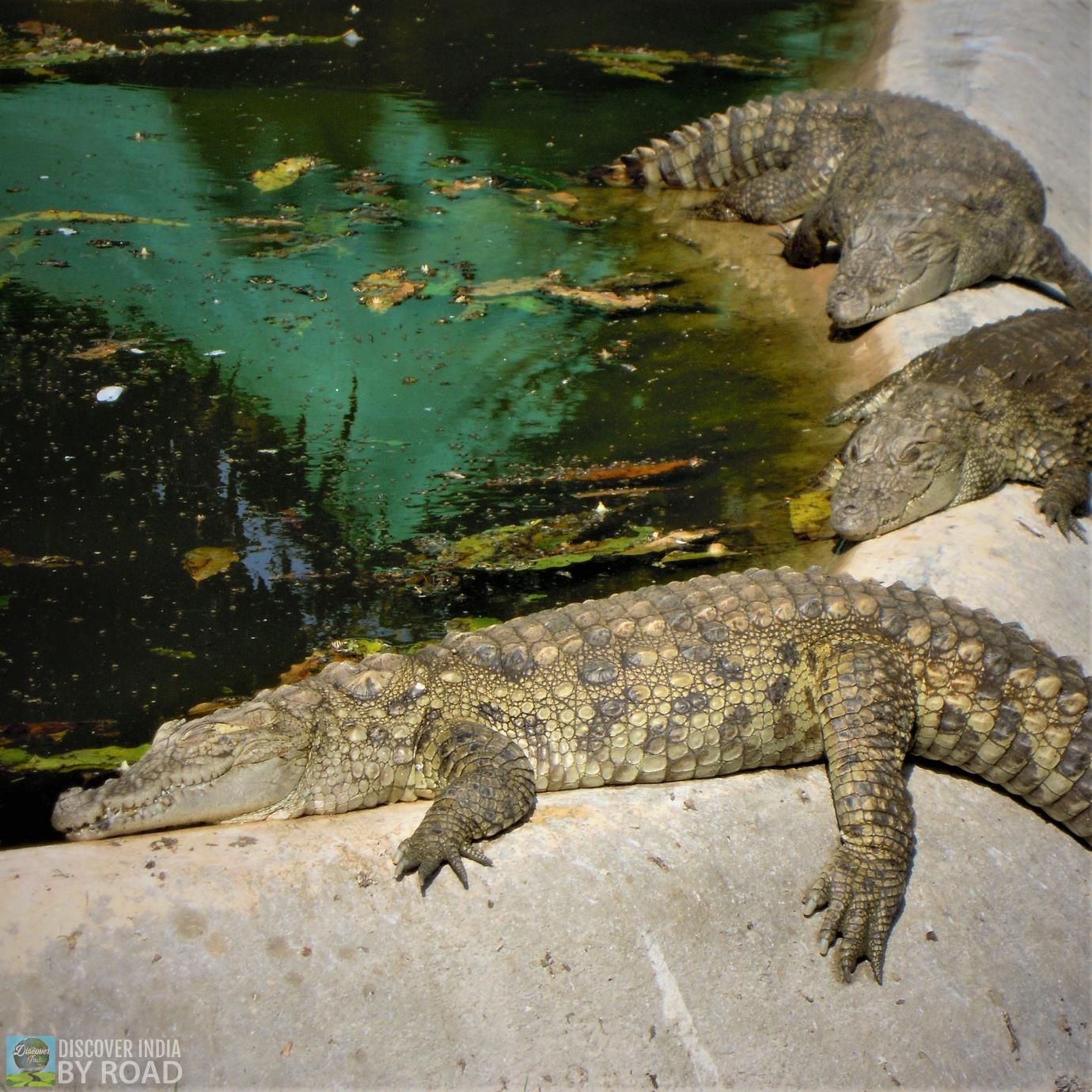 Crocodiles taking sunbath at Sakkarbaug Zoo, Junagadh