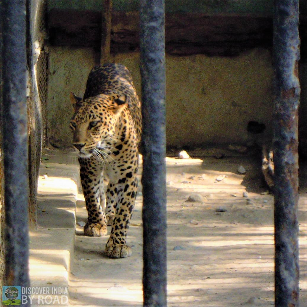 Leopard walking inside cage at Sakkarbaug Zoo, Junagadh