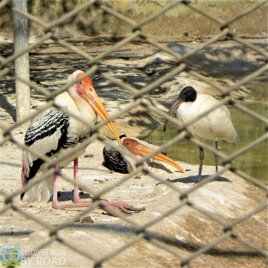 Pelicans at Sakkarbaug Zoo, Junagadh