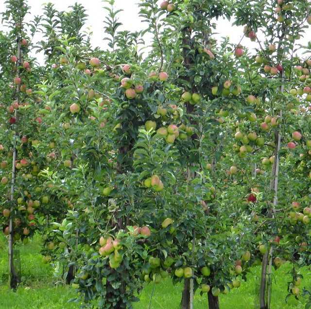 3. Haspengouw orchards Cycling Paradise Limburg
