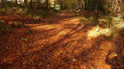 Golden path of beech leaves in the fall