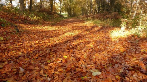 Golden beech leaves on the ground