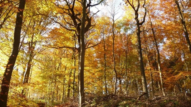 Beautiful colors of beech forest in the fall