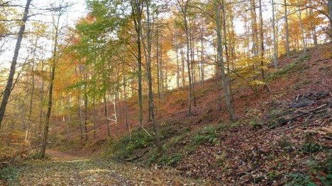 Beech forest in the fall