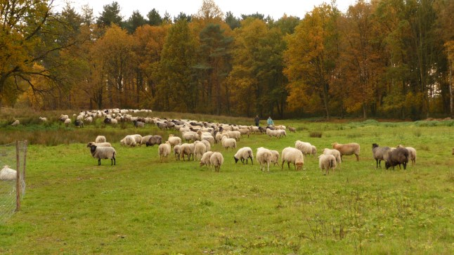 Flock of sheep and hikers on Averbode Heath, Belgium