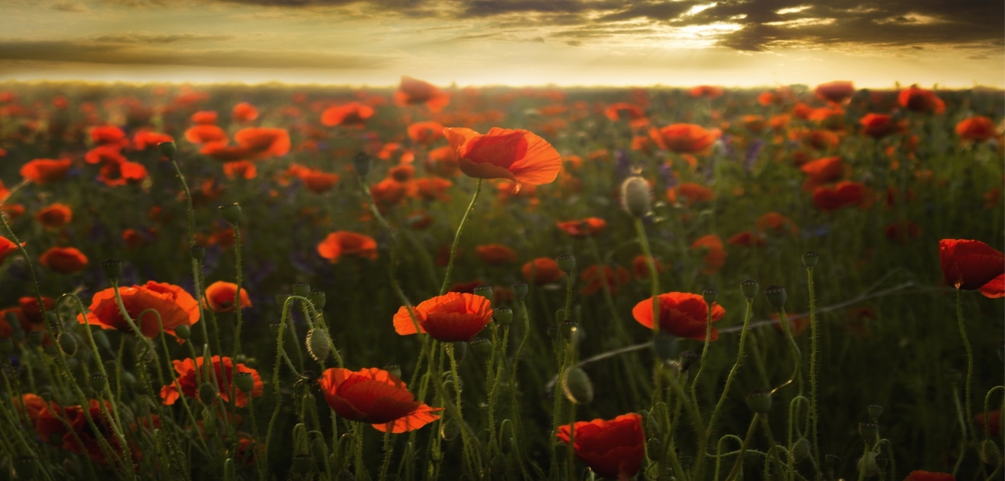 the Poppies of Flanders Fields