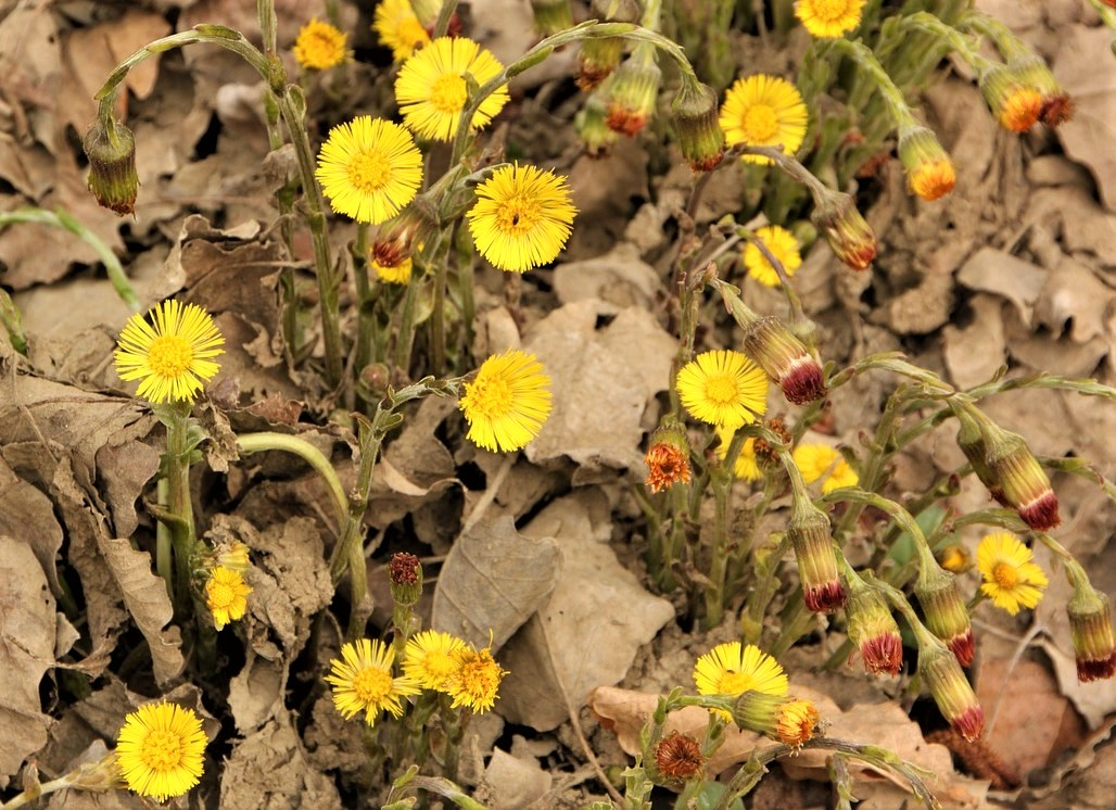Coltsfoot in Orp-Jauche