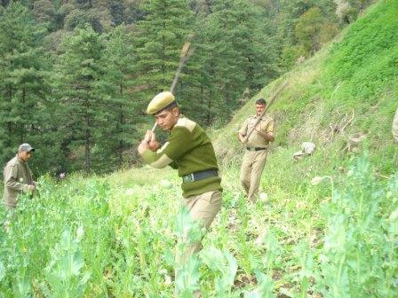 Police destroy poppy plants in Kullu