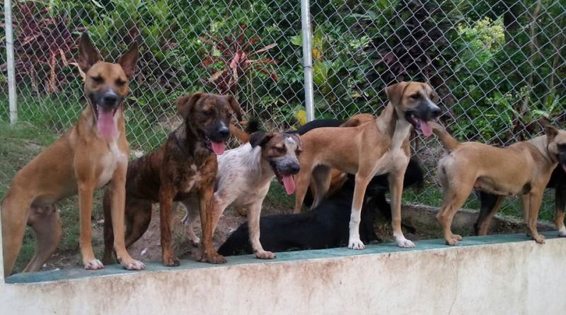 Dogs at the Montserrat Animal Protection Society.