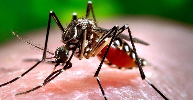 AedesMosquito