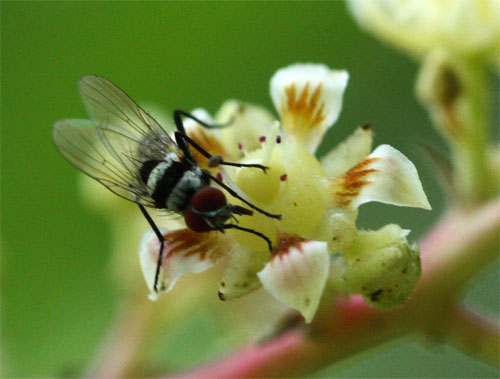 Fly Pollinator