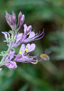 Amegilla bee approaching a cleome flower