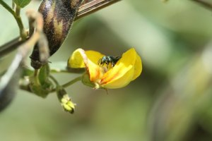 Small Carpenter bee on legume by Dino Martins