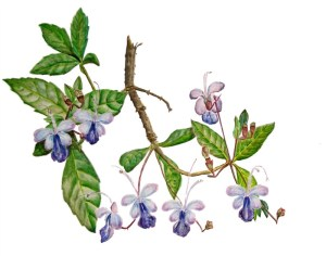 Clerodendrum drawing by D. J. Martins