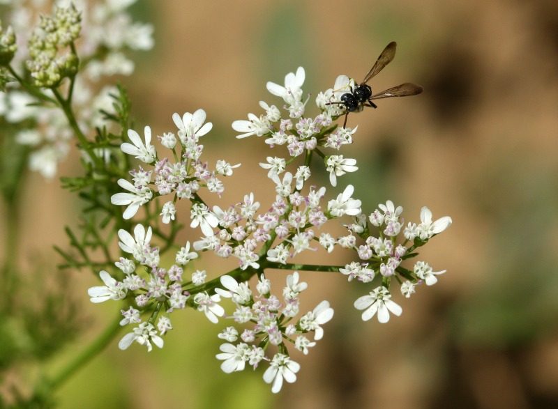 Wasp visiting coriander flowers by D. J. Martins
