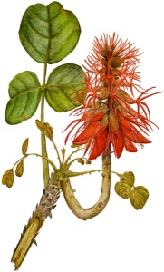 Erythrina flower illustration by D. J. Martins