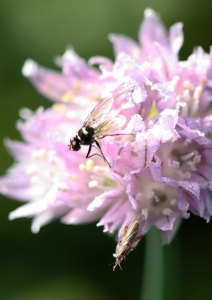 Root maggot fly on onion bloom by D. J. Martins