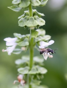 Halictid bee on basil by D. J. Martins