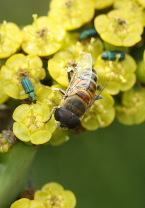 Hoverfly Syrphidae sp. on euphorbia by D. J. Martins