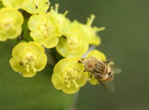 Hoverfly (Syrphidae) on Euphorbia magnicapsula by D. J. Martins