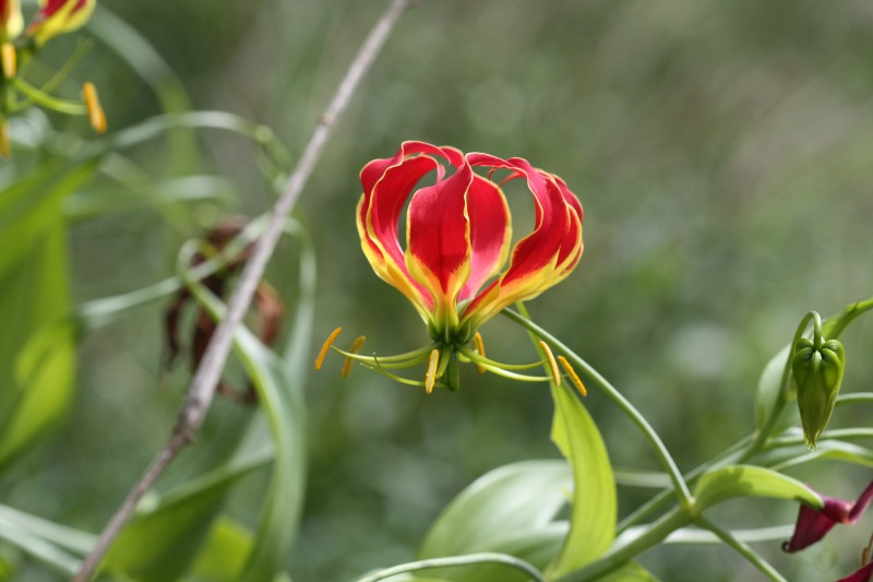 Gloriosa superba – a good plant for butterflies by D. J. Martins