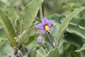 Solanum spp. are great for bees by D. J. Martins