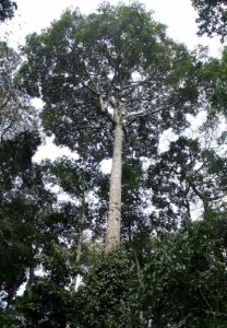 Maesopsis – large forest trees support many insects by D. J. Martins