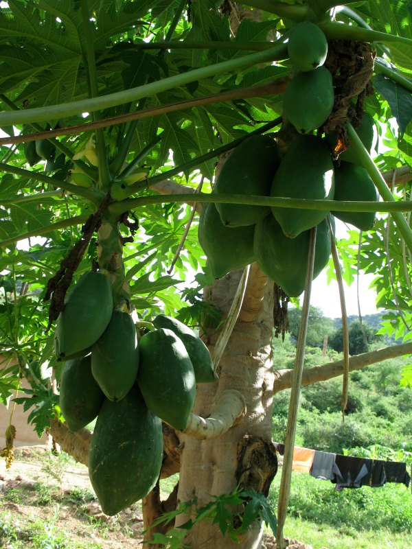 Papaya farmer in fruit and thriving. Photo by D. J. Martins