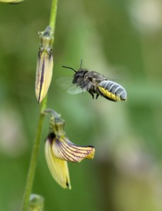 Large leafcutter bee approaches Crotolaria brevidens by D. J. Martins