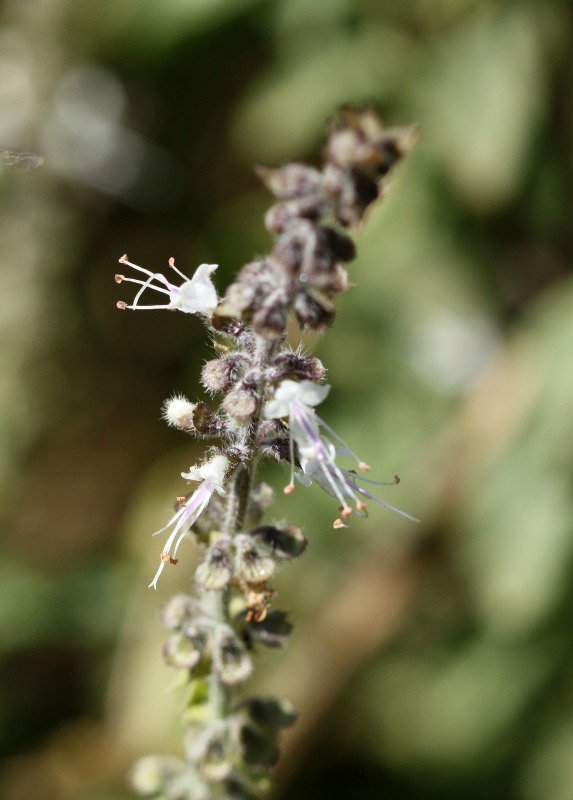 Ocimum, one of the most useful 'bee-plants' by D. J. Martins